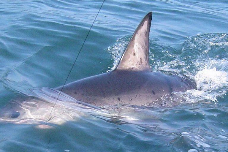 Attaque de requin, quel risque en Martinique ?